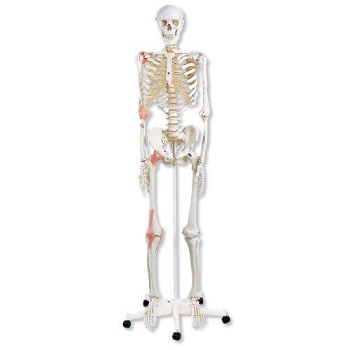 Model lidské kostry s vazy