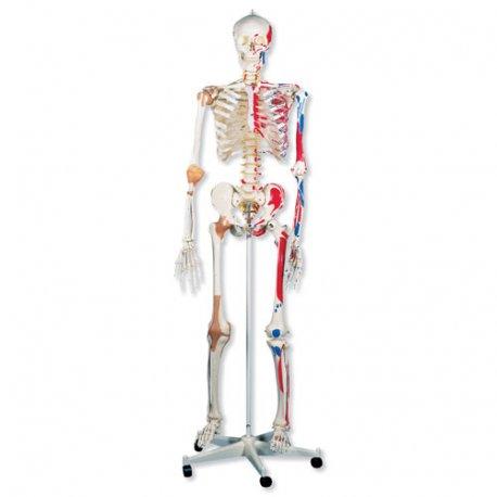 Model kostry super - se svaly a vazy - závěs