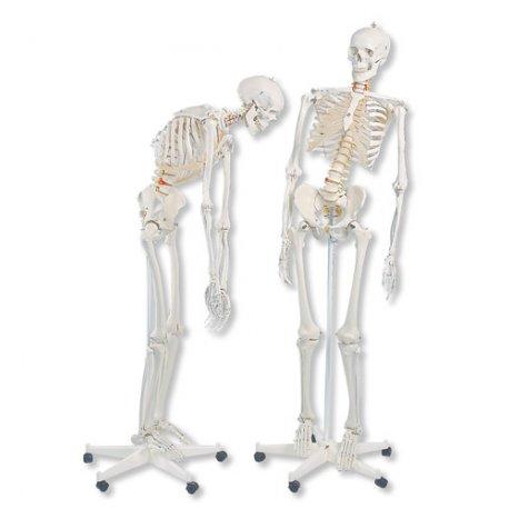 Model lidské kostry - ohebná kostra A