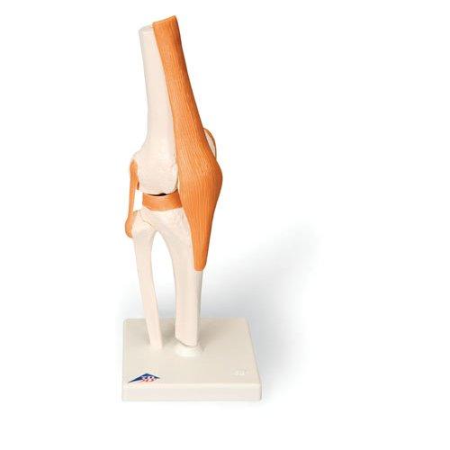 Funkční model kolenního kloubu