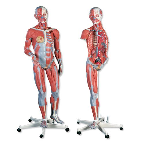 Oboupohlavní model anatomie svalstva - 45 částí