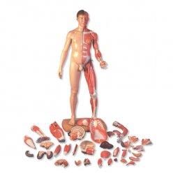 Oboupohlavní model svalstva v životní velikosti (asiat)