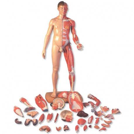 Oboupohlavní model svalstva v životní velikosti (evropan)