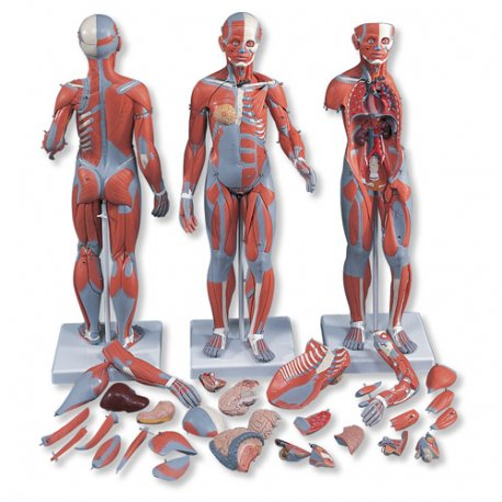 Model svalové anatomie - oboupohlavní - 33 částí