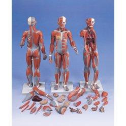 Model svalové anatomie - žena - 21 částí
