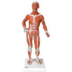 Mini model svalovce - 1/4 životní velikosti - 2 části