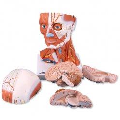 Svalstvo krku a hlavy - 5 částí