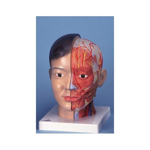 Model hlavy s krkem - 4 části -asijský typ