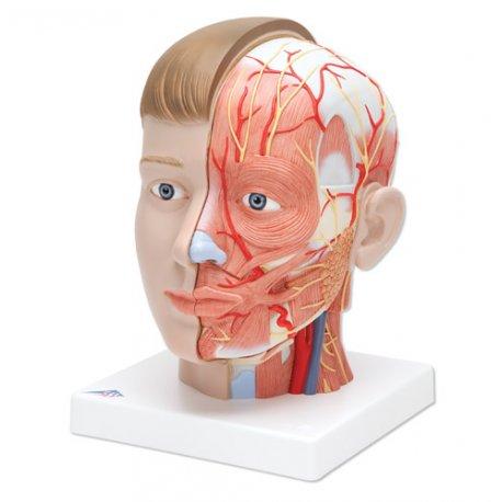 Model hlavy s krkem - 4 části - evropský typ