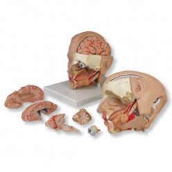 Model hlavy - 6 částí