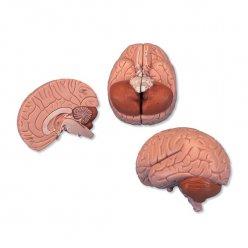 Model mozku - 2 části