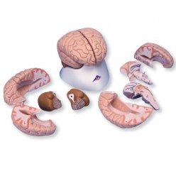 Model mozku - 8 částí