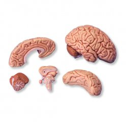 Model mozku - 5 částí