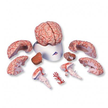 Mozek s tepnami - 9 částí