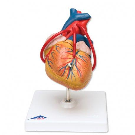 Model srdce s bypassem - 2 části