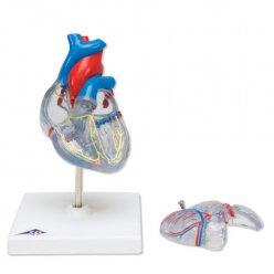 Model srdce s převodním systémem - 2 části