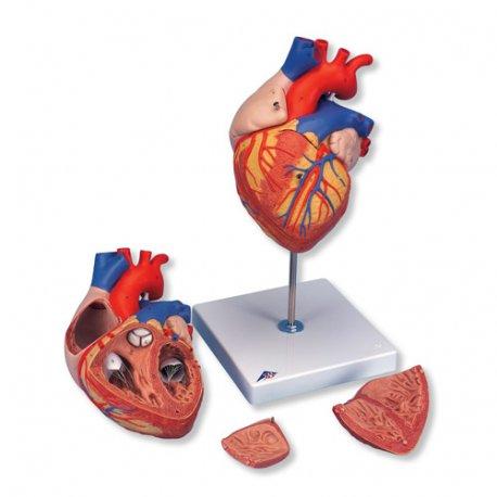 Model srdce velký - 4 části