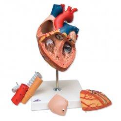 Model srdce s jícnem a průdušnicí - 5 částí