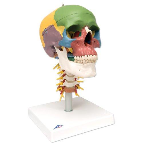 Lebka didaktická na krční páteři - 4 části