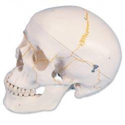 Lebka klasická očíslovaná - 3 části