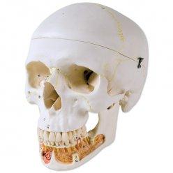 Lebka dentální s otevřenou spodní čelistí - 3 části