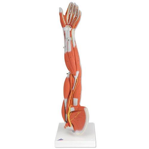 Model svalstva paže 6 částí