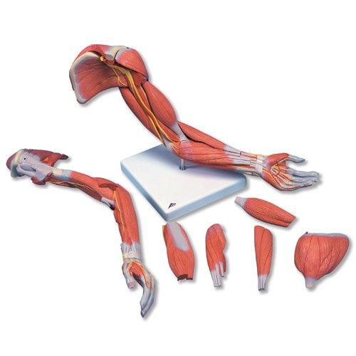Luxusní model svalstva paže - 6 částí
