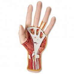 Vnitřní stavba ruky - 3 části