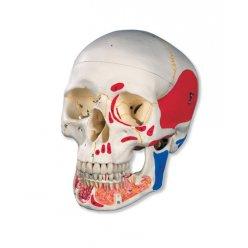 Lebka s otevřenou spodní čelistí a svaly - 3 části