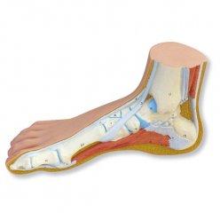 Model nohy - normální noha