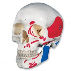 Lebka klasická se svaly - malovaná - 3 části