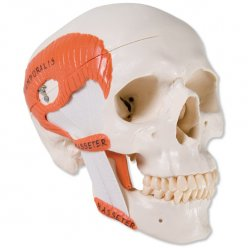 Model lebky se žvýkacím svalstvem - 2 části