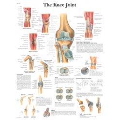 Schéma - lidský kolenní kloub - AJ - 50x67 cm
