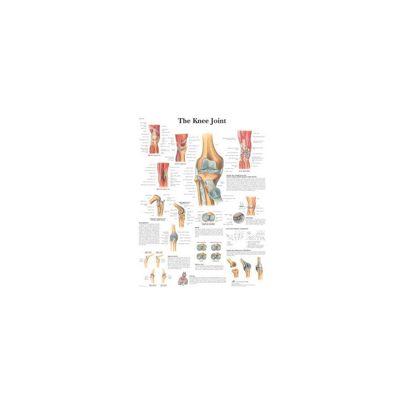 Schéma - koleno - papír - 50x67 cm