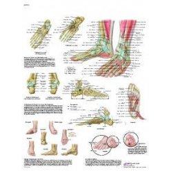 Schéma - lidská noha a kotník - AJ - 50x67 cm