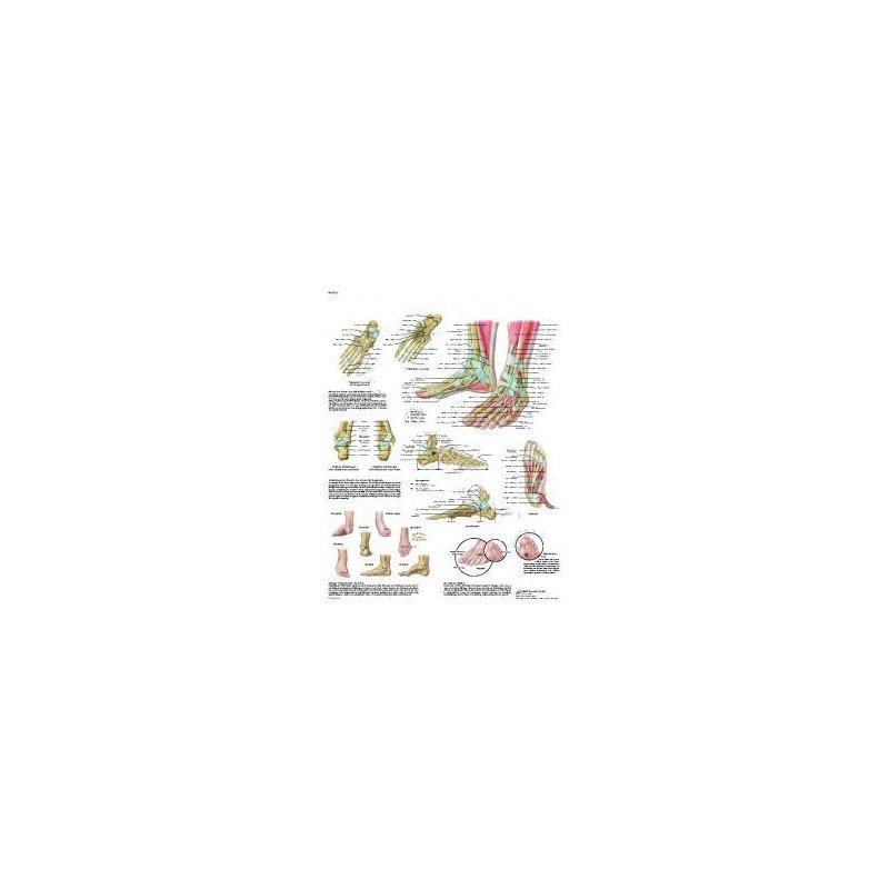 Schéma - kotník - papír - 50x67 cm