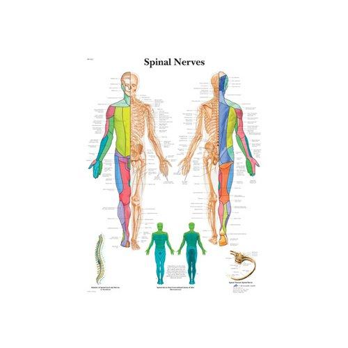 Schéma - spinální nervy - AJ - 50x67 cm