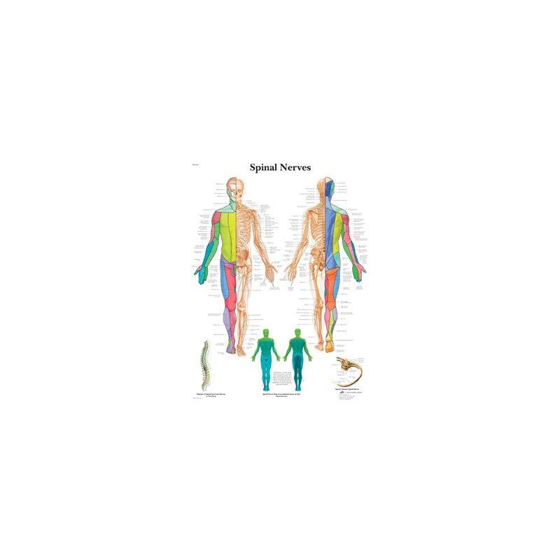 Schéma - spinální nervy - papír - 50x67 cm