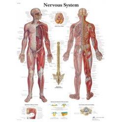 Schéma - lidský nervový systém - AJ - 50x67 cm