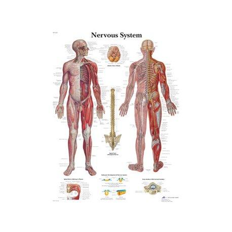 Schéma - nervový systém - papír - 50x67 cm