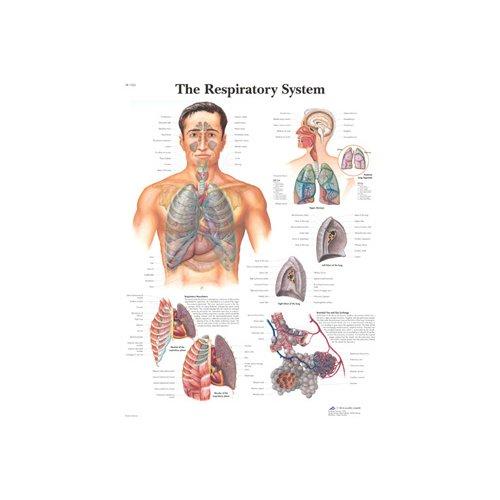 Schéma - lidská dýchací soustava - AJ - 50x67 cm