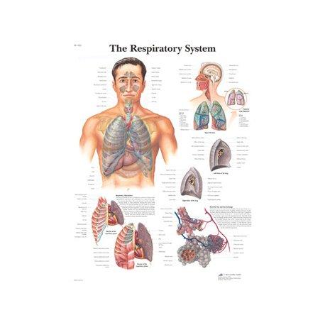 Schéma - dýchací cesty - papír - 50x67 cm