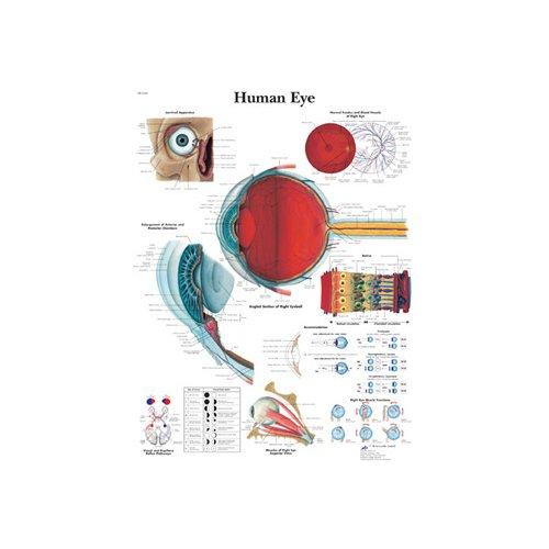 Schéma - lidské oko - papír - 50x67 cm