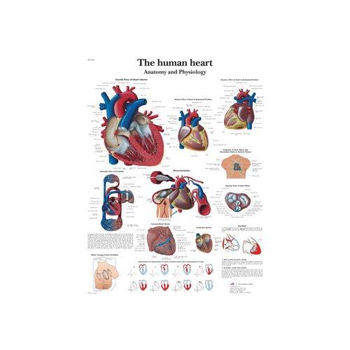 Schéma - lidské srdce - papír - 50x67 cm