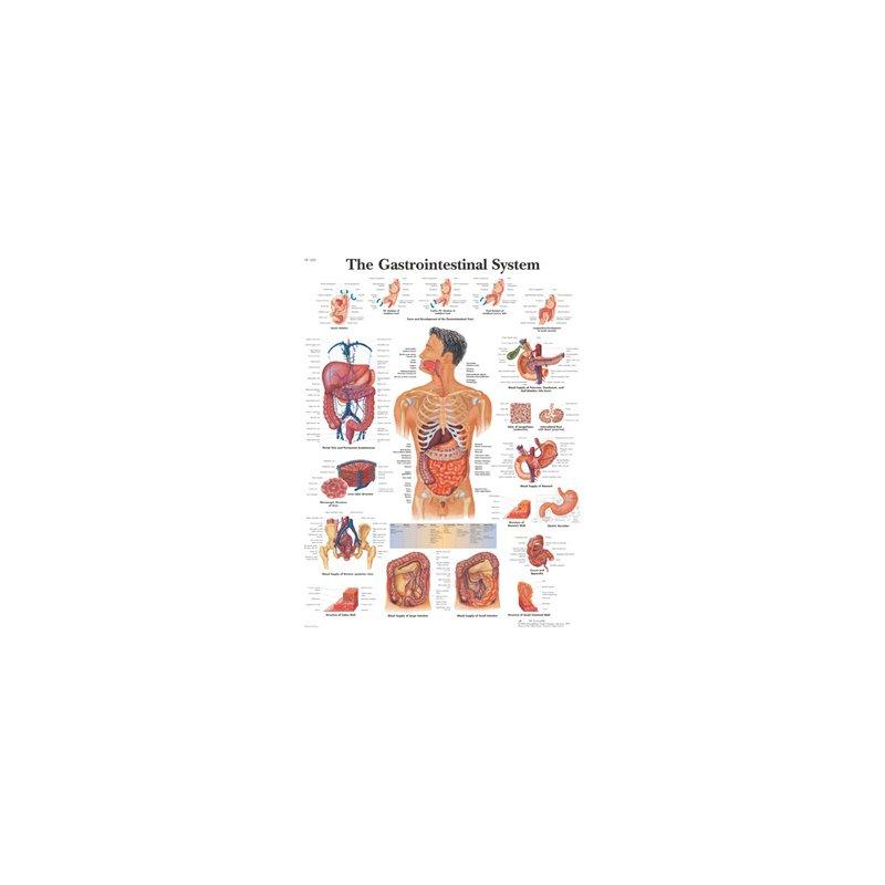 Schéma - trávicí ústrojí - papír - 50x67 cm