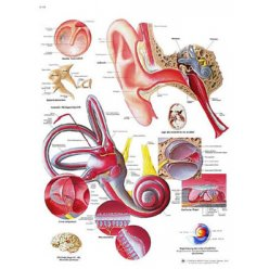 Schéma - lidské ucho - AJ - 50x67 cm
