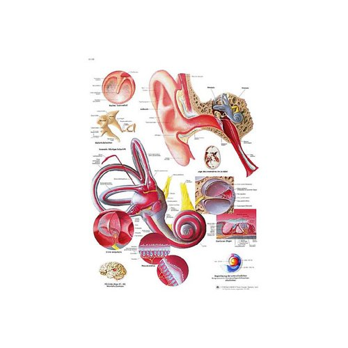 Schéma - lidské ucho - papír - 50x67 cm