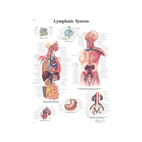 Schéma - lymfatický systém - papír - 50x67 cm