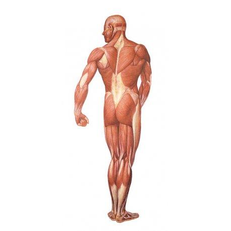 Schéma - svalstvo zadní pohled - papír - 84x200 cm