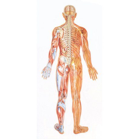 Schéma - nervový systém zadní pohled - papír - 84x200 cm